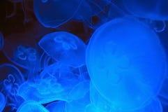 Medusa Imagens de Stock