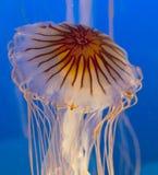 Medusa Imagem de Stock