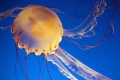 Medusa Fotografia Stock