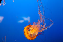 Medusa alaranjadas brilhantes com fundo azul profundo. Fotografia de Stock