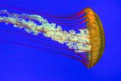 Medusa alaranjadas com fundo azul Fotos de Stock