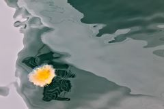 Medusa alaranjadas no seawater verde imagens de stock royalty free