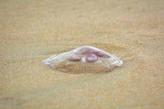 Medusa comuns lavadas na areia Imagens de Stock Royalty Free