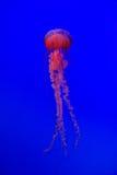 Medusa contra o fundo azul profundo Foto de Stock Royalty Free