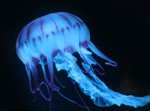 Medusa cor-de-rosa azuis no fundo escuro, animal bonito fotos de stock