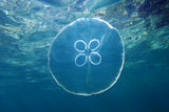 Medusa da lua e superfície da água Fotografia de Stock