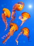 Medusa da provocação do mar Imagens de Stock