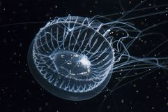 Medusa de cristal Fotos de Stock