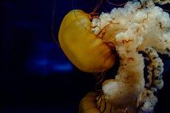 Medusa do aqaurium de chattanooga foto de stock