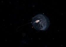 Medusa do Hydromedusa com carona de peixes imagens de stock