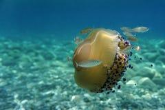 Medusa e peixes Imagens de Stock