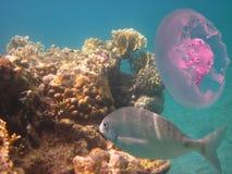 Medusa e peixes do coral Fotos de Stock Royalty Free