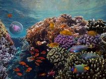 Medusa e peixes tropicais no Mar Vermelho Imagem de Stock Royalty Free