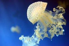 Medusa em Genoa Aquarium Fotos de Stock Royalty Free