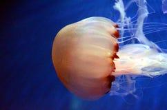 Medusa em Genoa Aquarium Fotografia de Stock