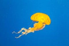 Medusa gialla Fotografie Stock