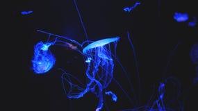 Medusa i det mörka akvariet Royaltyfria Foton