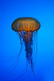 Medusa jellyfish Stock Image
