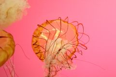 Medusa listradas, fundo cor-de-rosa imagens de stock
