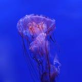Medusa listradas roxas Fotografia de Stock