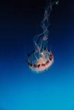 Medusa listradas roxas, colorata do Chrysaora Fotografia de Stock