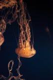 Medusa listradas roxas, colorata do Chrysaora Imagens de Stock Royalty Free