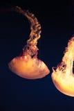 Medusa listradas roxas, colorata do Chrysaora Imagem de Stock Royalty Free