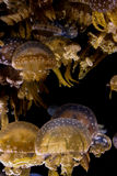 Medusa manchadas da lagoa foto de stock