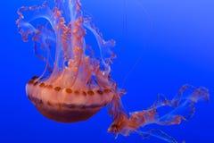 Medusa no papel de parede azul do fundo Imagem de Stock