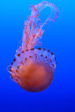 Medusa no papel de parede azul do fundo Fotos de Stock