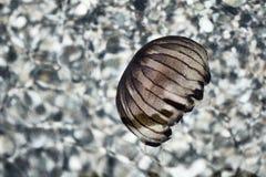 Medusa på kusten av det Aegean havet Royaltyfria Bilder