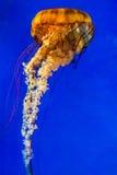 Medusa pacíficas da provocação do mar Foto de Stock Royalty Free