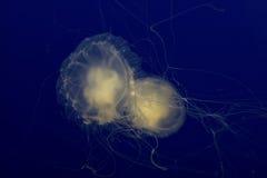 Medusas Fotografia de Stock Royalty Free