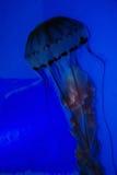 Medusas imagenes de archivo