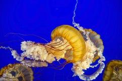 Medusas Imagen de archivo