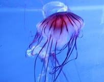 Medusas Fotos de Stock Royalty Free