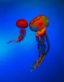 medusas Foto de Stock Royalty Free
