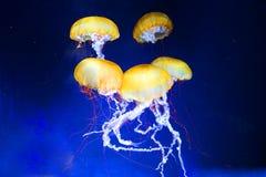 Medusas Fotografía de archivo libre de regalías