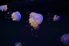 medusas Imagens de Stock