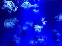 medusas Imagem de Stock Royalty Free