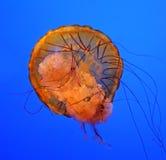 Medusas adultas Foto de archivo