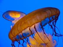 Medusas alaranjadas Fotos de Stock Royalty Free