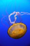 Medusas anaranjadas Foto de archivo