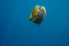 Medusas anaranjadas Imagenes de archivo