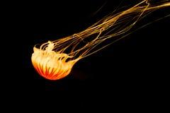 Medusas anaranjadas aisladas en el fondo negro, veneno pero beauti imagen de archivo