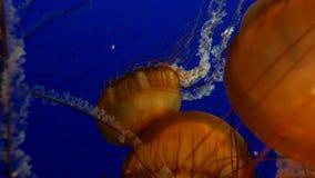 Medusas anaranjadas en agua azul del océano metrajes