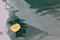 Medusas anaranjadas en agua de mar verde imágenes de archivo libres de regalías