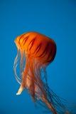 Medusas anaranjadas flotantes en fondo azul fotografía de archivo libre de regalías