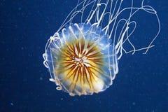 Medusas azuis na água escura imagens de stock royalty free