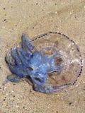 Medusas azules Fotos de archivo